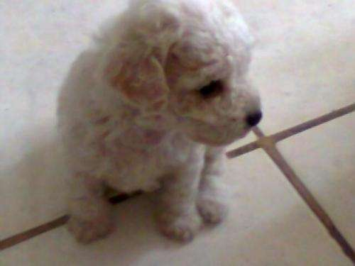 Vendo cachorritos French Poodle mini toy
