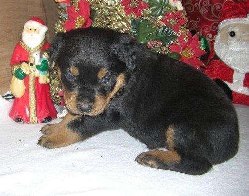 Increíble rottweiler cachorro gratis adopción.