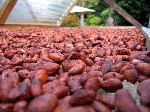 Seco de cacao en grano fermentado