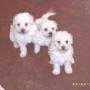 venta de french poodle toy 100% originales