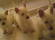 Mira hermosos cachorritos westi