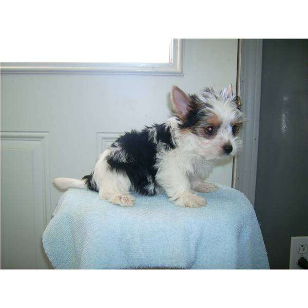 Bebés yorkshire terrier línea toy, particular