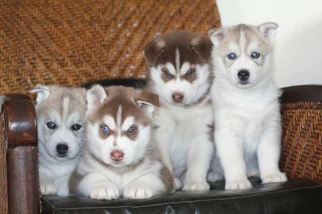 Cachorros de raza husky siberiano deje