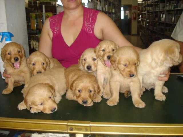 Cachorros golden rettriever en aguascalientes