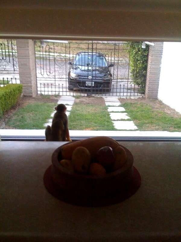 Mono ardilla busca novia enla zona centro de mexico
