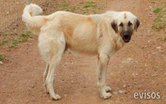 Perros pastor de anatolia