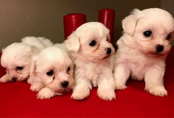 Exclusivo champion line kc cachorros maltese registrados.d