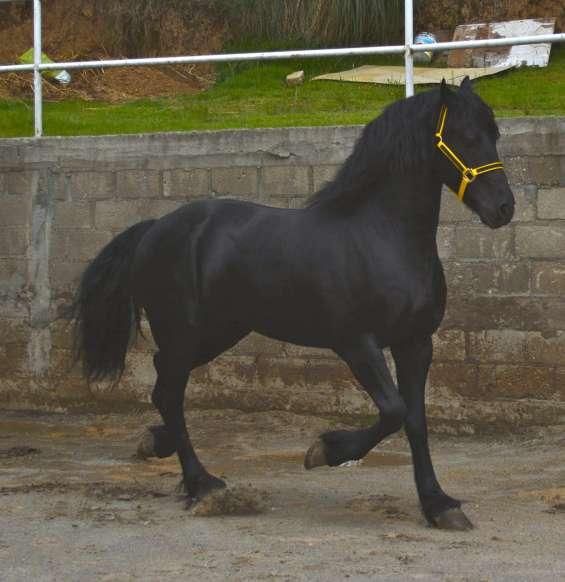 Hermoso caballo frison