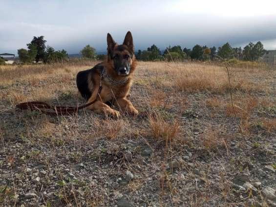 Venta, renta y adiestramiento canino begecan